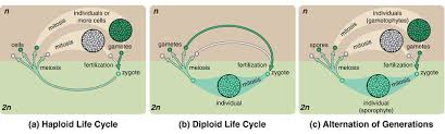 reproduction and meiosis ck 12 foundation