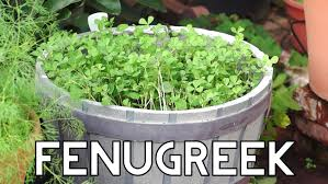 Indore Plants How To Grow Fenugreek Greens In Your Garden Youtube