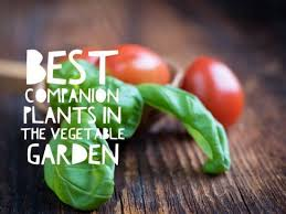 the best companion plants for your vegetable garden gardening