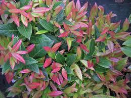 arbuste feuillage pourpre persistant leucothoe fontanesiana u0027scarletta u0027