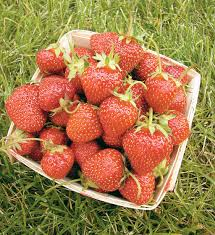 allstar strawberry high yields large fruit