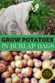 Container Gardening Potatoes - how to grow potatoes in burlap bags