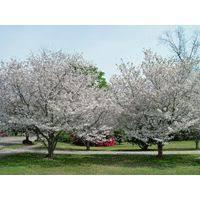 44 best gardening deciduous trees images on deciduous