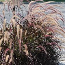 pennistetum setaceum rubrum ornamental grass