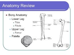 Knee Bony Anatomy Knee Rehabilitation Ppt Video Online Download