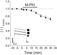 modulation of kv1 5 currents by protein kinase a tyrosine kinase