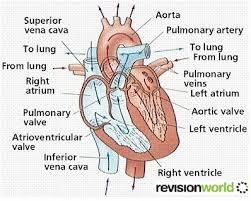 heart u0026 circulatory system revision world