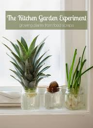 the kitchen experiment garden growing plants from food scraps