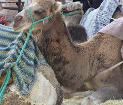imagenes de los reyes magos y sus animales a propósito de los reyes magos y los camellos acercaciencia
