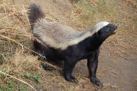 Honey Badger Meme - honey badgers pbs nature doc honey badger don t care video by