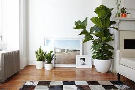 what to about the fiddle leaf fig tree today