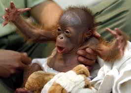 Baby Monkey Meme - baby orangutans
