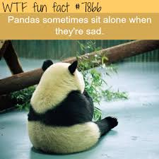 Sad Panda Meme - sad panda wtf fun fact fun facts pinterest wtf fun facts