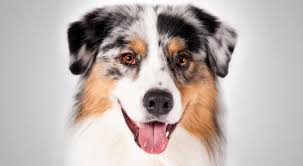 australian shepherd jack russell mix a dozen hyperactive dog breeds simply for dogs