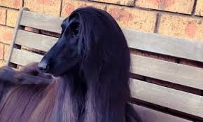 afghan hound keyring this dog has better hair than all of us afghan hound dog and animal