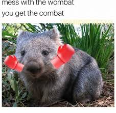 Wombat Memes - mess with the wombat you get the combat wombat meme on me me
