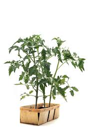 how to grow tomatoes in a raised bed hgtv