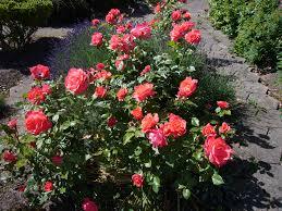 rose garden wallpaper wallpapersafari