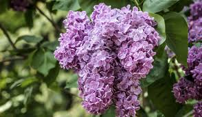 purple lilac is diabetes pill an anti ageing wonder drug and magic bullet to