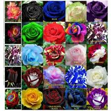 different color roses imported flower seeds 25 different colors 5 seeds each