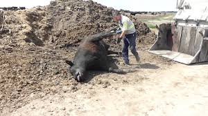 feedlot dead cow being picked up for render plant youtube