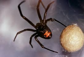 Black Widow Spiders Had A - black widow spider bite