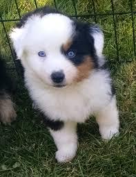 australian shepherd mini puppy lsbtm3frt jpg