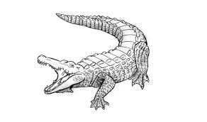 how to draw an alligator crocodile animals youtube
