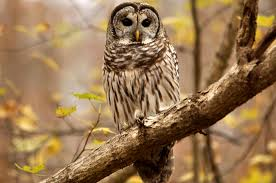 barred owl watches us at crow u0027s nest and a parking lot will open