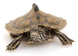 map turtle mississippi map turtle graptemys pseudogeographica kohni