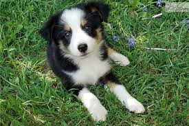 australian shepherd puppies for sale los angeles panda miniature australian shepherd puppy for sale near