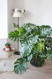best 25 interior plants ideas on pinterest house plants big