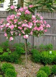 polar tree grows 5 to 8 may be pruned hardy