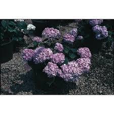 purple lilac shop shrubs at lowes com