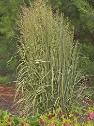 photos hgtv avalanche feather reed grass ornamental loversiq