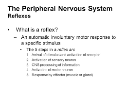 How Does A Reflex Arc Work In A Nervous System The Peripheral Nervous System Ppt Video Online Download
