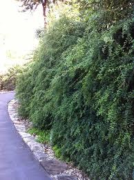 australian native hedge plants australian botanic garden mount annan u2014 bio