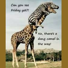 Hump Day Camel Meme - it s hump day again dang camel let s work through today anyway