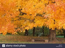 mn landscape arboretum sugar maple in fall minnesota landscape arboretum chanhassen