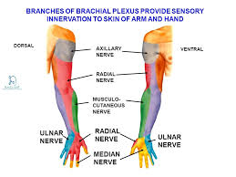 Innervation Of Infraspinatus Median Nerve Course U0026 Innervation How To Relief