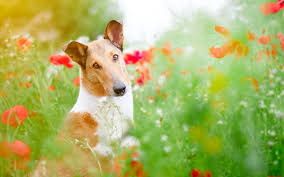 Wallpaper Dogs Wallpapers Dogs Basenji Poppies Glance Animals