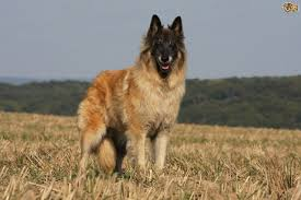 belgian shepherd exercise requirements shepherd breeds that are an alternative to the german shepherd dog