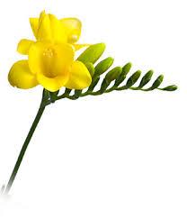 freesia flower san diego wholesale flowers florist bouquets yellow freesia