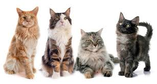 12 huge facts maine coons mental floss