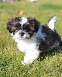 affenpinscher for sale canada pinterest u0027teki 25 u0027den fazla en iyi shichon puppies for sale fikri