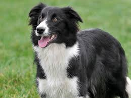 belgian sheepdog hypoallergenic medium u0026 medium sized dog breeds medium dog list