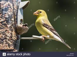 female american goldfinch eating at a backyard bird feeder the