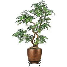 Japanese House Plants by Ming Aralia Indoor