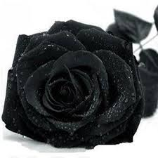 black roses for sale black 28