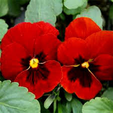29 best garden pansy images on pinterest pansies thoughts and